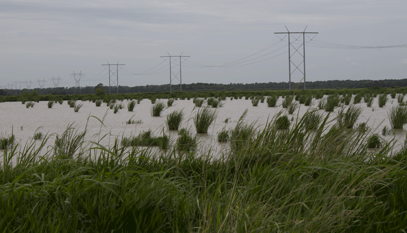 field of rice where crawfish are also raised, with power lines in the background