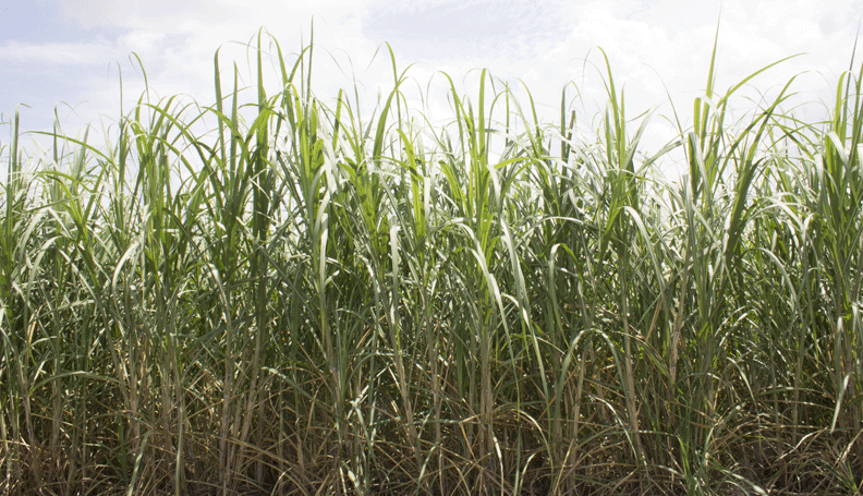 a closeup of a sugarcane field