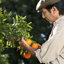 a man evaluating the ripeness of oranges still hanging from the branch of a tree